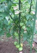 庭のトマト.jpg